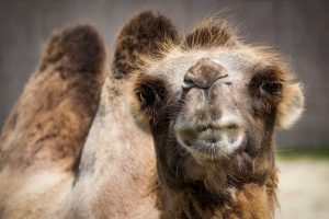 Besides bacon, camels were also not allowed to be eaten.