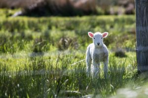 Jesus warns us about narcissism in His parable about the lost sheep.