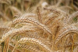 A grain offering was given voluntarily by the Jews as an act of worship and thankfulness to God.