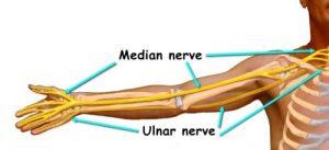 Illustration of the human body's median nerve.